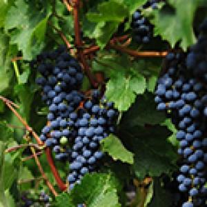 Sicily and Wine