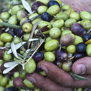 Sicilian olive oil extravergine