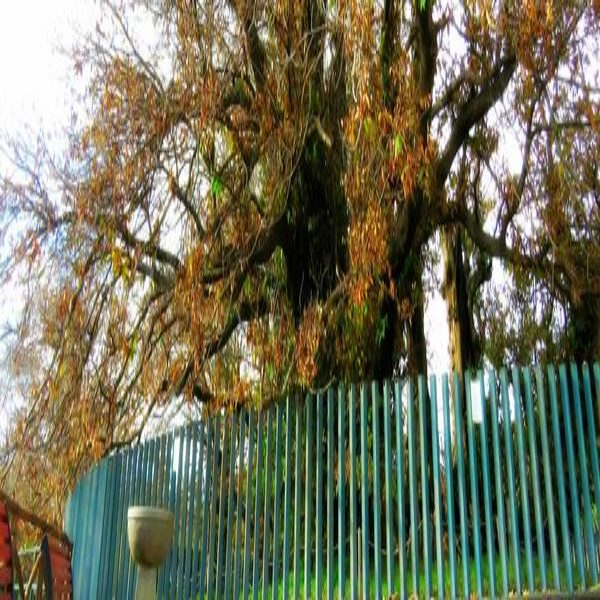 etna tree chestnut