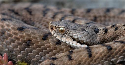 etna snakes viper