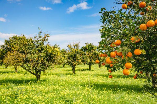 Sicily Oranges